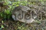 Thumbnail Rabbit Oryctolagus cuniculus sued-west England