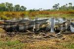 Thumbnail Traditional Mokoro boats, Okavango Delta Botswana