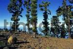 Thumbnail Canary Island Pine Pinus canariensis, La Palma Island, Canary Islands, Spain, Europe