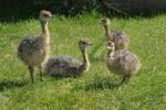 Thumbnail African ostrich (Struthio camelus), chicks on an ostrich farm, Thalheim, Oschatz, Saxony, Germany, Europe