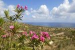 Thumbnail Flowering Oleander (Nerium oleander), landscape with sea near Latchi, Akamas, Southern Cyprus, Republic of Cyprus, Mediterranean Sea, Europe