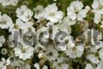 Thumbnail white flowers