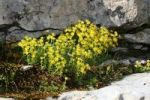Thumbnail Yellow Mountain Saxifrage (Saxifraga aizoides), Toggenburg, Switzerland, Europe