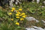 Thumbnail Large-flowered Leopard's-bane (Doronicum grandiflorum), Toggenburg, Switzerland, Europe