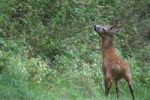 Thumbnail European Roe Deer (Capreolus capreolus) marking its territory, Allgaeu, Bavaria, Germany, Europe