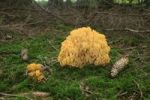 Thumbnail Beautiful Clavaria or Yellow-tipped Coral Fungus (Ramaria formosa), Allgaeu, Bavaria, Germany, Europe