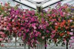 Thumbnail Scented Geraniums or Storksbills (Pelargonium) and Petunias (Petunia), Munich, Bavaria, Germany, Europe