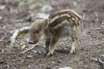 Thumbnail Wild Boar (Sus scrofa), piglet