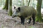 Thumbnail Wild boar (Sus scrofa), tusker