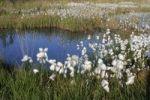 Thumbnail Cottongrass (Eriophorum angustifolium)