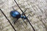 Thumbnail Violet Oil-Beetle (Meloe violaceus)