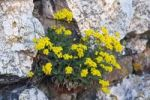 Thumbnail Basket of Gold, Yellow alyssum flowers, Basket-Of-Gold, Candy Mustard, Gold Alyssum, Gold Dust, Gold-Dust, Golden-Tuft Alyssum, Golden-Tuft Madwort, Rock Madwort (Aurinia saxatilis, Alyssum saxati