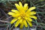 Thumbnail Austrian Viper's Grass (Scorzonera austriaca)