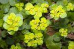 Thumbnail Alternate-leaved Golden-saxifrage, Alternate-leaf Golden Saxifrage, Golden Saxifrage (Chrysosplenium alternifolium)
