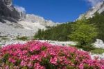 Thumbnail Rhododendrons, Garland Rhododendron, Hairy Alpine-rose, Alpen Rose, Alpine Rose, Alpenrose, Snow-rose (Rhododendron hirsutum) near Sorapis Lake, Gruppo del Sorapiss, Dolomites, Alto Adige, South T