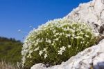 Thumbnail Large Flowered Sandwort (Arenaria grandiflora, Alsine grandiflora, Arenaria capillacea, Arenaria abietina, Arenaria grandiflora abietina, Cernohorskya grandiflora) in Devin-Kotel-Souteska national