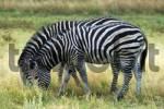 Thumbnail Plains Zebra Equus burchelli Moremi National Park Botswana