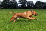 Thumbnail Rhodesian Ridgeback, two year-old male, on the move, running over a meadow