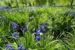 Thumbnail Iris sibirica