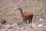 Thumbnail Llama near Arequipa, Peru, South America