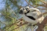 Thumbnail Coquerel's Sifaka (Propithecus coquereli), female adult with young on back, Madagascar, Africa
