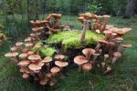 Thumbnail Mushrooms, honey fungus (Armillaria mellea) growing on a moss-covered stump