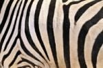Thumbnail Fur coat of a Plains Zebras (Equus quagga), Etosha National Park, Namibia, Africa