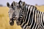 Thumbnail Faces of two Plains Zebras (Equus quagga), Etosha National Park, Namibia, Africa