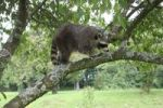 Thumbnail Raccoon (Procyon lotor) in a plum tree, Mecklenburg-Western Pomerania, Germany, Europe