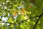 Thumbnail Illuminated Beech (Fagus) leaves on a branch, Wohldorf Forest, Hamburg, Germany, Europe