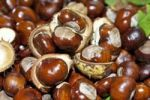Thumbnail Horse Chestnuts or Conkers (Aesculus hippocastanum) with chestnut leaves, seeds and capsules