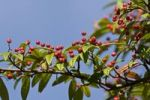Thumbnail Rowan or Mountain Ash (Sorbus aucuparia)
