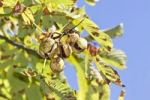 Thumbnail Horse Chestnuts or Conkers (Aesculus hippocastanum) with chestnut leaves, seeds and capsules on a tree