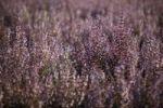 Thumbnail Sage (Salvia spp.), Plateau de Valensole, Département Alpes-de-Haute-Provence, France, Europe