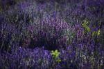 Thumbnail Lavender (Lavandula angustifolia), Plateau de Valensole, Département Alpes-de-Haute-Provence, France, Europe