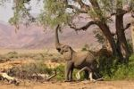 Thumbnail African Bush Elephant or Savanna Elephant (Loxodonta africana) standing in the dry Huab river, Damaraland, Nambia, Africa