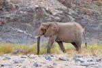 Thumbnail African Bush Elephant or Savanna Elephant (Loxodonta africana) walking in the dry Ugab river, Damaraland, Namibia, Africa