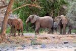 Thumbnail African Bush Elephant or Savanna Elephant (Loxodonta africana) walking in the dry Ugab river, Damaraland, Namibia, Afrika