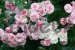 Thumbnail rose - Rosa Bonica 82