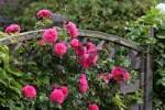 Thumbnail climbing rose Rosa and Parthenocissus tricuspidata Hedera helix