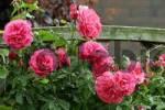 Thumbnail climbing rose Rosa