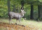 Thumbnail Sika Deer, Spotted Deer or Japanese Deer (Cervus nippon)