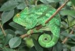 Thumbnail Parson's Chameleon (Calumma parsonii), resting with a rolled-up tail, Madagascar, Africa