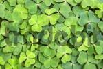 Thumbnail Oxalis, Wood Sorrel