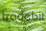 Thumbnail Fern Pteridium aquilinum