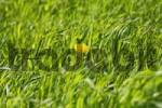 Thumbnail single dandelions Taraxacum officinale