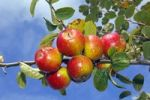 Thumbnail Apple (Malus domestica), Erwin Baur variety, on the tree, Altes Land area, Hamburg, Lower Saxony, Germany