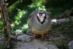 Thumbnail Rock Partridge (Alectoris graeca), Alpine Zoo Innsbruck, Tyrol, Austria, Europe