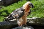 Thumbnail Lammergeier or Bearded Vulture (Gypaetus barbatus), Alpine Zoo Innsbruck, Tyrol, Austria, Europe