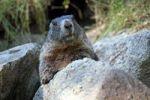 Thumbnail Alpine marmot (Marmota marmota), Alpine Zoo Innsbruck, Tyrol, Austria, Europe